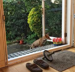 Foxy (Nad) Tags: animal garden plants shoes window england london fox dog