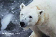 Polar Bear - Ranua, Finland (Naomi Rahim (thanks for 4.7 million visits)) Tags: finland ranua zoo arctic rovaneimi arcticzoo 2018 autumn winter travel travelphotography nikon nikond7200 cold animal wanderlust wildlife bear polarbear white lapland snow ice portrait