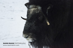 Musk Ox - Ranua, Finland (Naomi Rahim (thanks for 4.7 million visits)) Tags: finland ranua zoo arctic rovaneimi arcticzoo 2018 autumn winter travel travelphotography nikon nikond7200 cold animal wanderlust wildlife lapland muskox ox snow