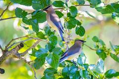 Waxwings (GTPIX) Tags: cedarwaxwings waxwings mulberries birds backyard