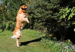 Wonder What The Neighbors Are Doing? (Diane Marshman) Tags: thedude the dudegoldenretrievergolden retriever large dog breed brown tan white fur standing action looking motion pine trees grass pet companion pa pennsylvania nature outdoors wildflowers asters goldenrod