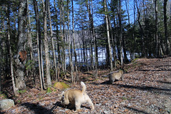 Diggs & Sedum - 4/17/19 (myvreni) Tags: vermont spring nature outdoors animals dogs cairnterriers pets