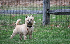 Diggs - 4/18/19 (myvreni) Tags: vermont spring nature outdoors animals dogs cairnterriers pets