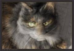 DSC04721 N&B (Olpo2vin) Tags: cat chat yeux eyes regard look félin feline olpo easy poils fourrure redessan 30129 animaldecompagnie nb vibrisses