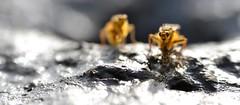 dungfly party (conall..) Tags: mating dungfly dungflies cop copulation ondung dung nikon afs nikkor f18g lens 50mm prime primelens nikonafsnikkorf18g closeup raynox dcr250 macro yellowdungfly goldendungfly scathophaga stercoraria scathophagidae