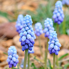 Grape Hyacinths (Colorado Sands) Tags: grapehyacinth flowers plant blossoms lakewood colorado usa kendrick blooms blossoming sandraleidholdt muscari