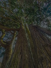 Giants (Mellisapix) Tags: ancient large pine tallest woods nature trunk texture bark conifer redwood tree giant