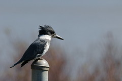 Belted Kingfisher (Kevin Krebs) Tags: pittmeadows grantnarrowsregionalpark bird kingfisher beltedkingfisher
