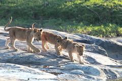 Playing lion cubs (adupaix) Tags: lion lioness cub cubs kenya africa animal park national leo panthera wild group mammal big reserve drinking nature pan felidae young three small cat animals animalplanet savannah mammifère natur naturephotography bébé