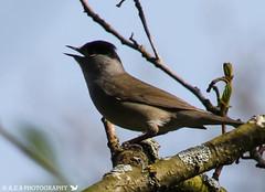 conway blackcap (Annice Elaine Bridgett) Tags: blackcap uk birds wildlife conwy rspb
