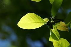 DSC08979 (Shutter_Hand) Tags: dallas texas usa miguelmendozamuñoz dallasarboretum letnaturenurtureyou naturaleza lenscraft sony alpha a99 sonyalphaa99 slta99 hoja hojas leaf leaves saucermagnolia sonyaf70400mmf456gssm sal70400g