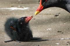 Moorhen (sumowesley) Tags: bird fauna moorhen nature oldmoor
