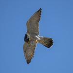 Peregrine Falcon (Falco peregrinus) thumbnail