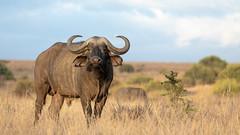 Nairobi-Nationalpark-April-8903 (ovg2012) Tags: africa afrika büffel canon capebuffalo kaffernbüffel kenia kenya nairobinationalpark reisefotografie safari synceruscaffer wildlife animal nature travelphotographer wild wildlifephoto wildlifephotography