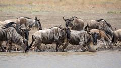 Nairobi-Nationalpark-April-0108 (ovg2012) Tags: africa afrika canon connochaetes gnu gnus kenia kenya nairobinationalpark reisefotografie safari wildebeest wildlife animal nature travelphotographer wild wildlifephoto wildlifephotography