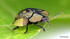 Tortoise beetle, Cyrtonota serinus, Cassidinae (Ecuador Megadiverso) Tags: andreaskay beetle cassidinae chrysomelidae coleoptera cyrtonotaserinus ecuador focusstack leafbeetle tortoisebeetle
