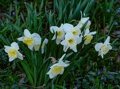 Daffolds 110 of 365 (Year 6) (bleedenm) Tags: 2019 april flowers neighborhood spring walk