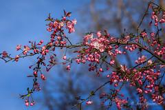 Spring Renewal (John H Bowman) Tags: virginia richmond maymont parks localparks flowersandplants floweringtrees cherrytrees springblossoms march2019 march 2019 canon702004l2 explore