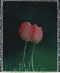 Tulips (ifleming) Tags: polaroidweek2019 tulips packfilm fp100c fujifilm rbtelegraflex roidweek