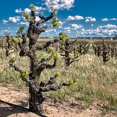 Old (wawrus) Tags: old vine grape vineyard vitisvinifera wine california zinfandel agriculture shoots spurs wood oakley ca usa hdr tonemap
