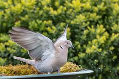 Tourterelle turque (sfrancois73) Tags: oiseau jardin tourterelleturque affût