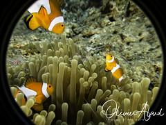 BALI18_IMG_6073-MDive1 (oalard) Tags: g16 fantasea retra bali indonesia submarinephotography photosousmarine plongees plongee dive diver poissonclown fish