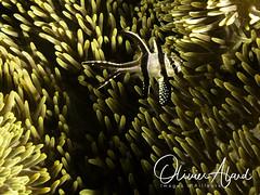 BALI18_Macro_IMG_6259-MDive1 (oalard) Tags: g16 fantasea retra bali indonesia submarinephotography photosousmarine plongees plongee dive diver fish