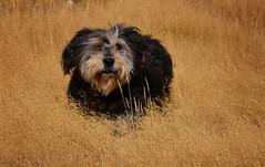 (M J Adamson) Tags: newzealand nz centralotago dogs dog pets animals portrait
