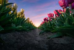 Dutch Tulips (RigieNL) Tags: sony sonya6000 sundown sunset sun sky sunrise sunrays cloud cldous insta instagram nature natuur flevoland noordoostpolder nederland netherlands europe europa tulpen tulps tulips tulp tulipfiled pink red purlple cloudporn dream dreamscape holland