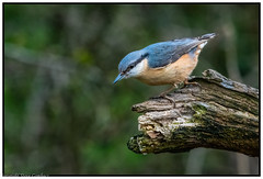 Nuthatch (steve.gombocz) Tags: bird nikon nikond850 nikoneurope nikoncamera nikon500mmf4 nikonfx nikkor avian uccello oiseau vogel ave pajaro flickraddict birdphotography birdphotograph outdoor animal outandabout nature wildlife wildlifereserve naturereserve wildlifephotos naturephotos wildlifephotograph naturephotography wildlifepicture naturepicture tier bbcspringwatch animale flickrwildlife flickrnature britishwildlife wildlifeuk rspbleightonmoss birds ukbird nuthatch birdwatch birdwatcher birdwatching naturewildlife birdphoto birdpictures colour colours color colourmania