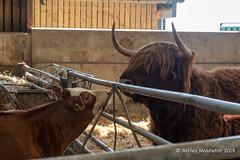 Mead Open Farm (Ashley Middleton Photography) Tags: animal bedfordshire billington cattle england europe mammal meadopenfarm unitedkingdom