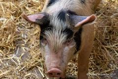 Mead Open Farm (Ashley Middleton Photography) Tags: animal bedfordshire billington england europe mammal meadopenfarm pig unitedkingdom