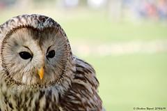 Chouette rayée (Christian Thepaut) Tags: birds chouette oiseau