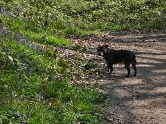 P1430334 (businessofferrets) Tags: stella dog staffy rspcarescuedog silkstoneravine