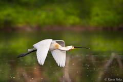 La spatola... (Silvio Sola) Tags: silviosola centrocicogneanatidiracconigi spatola spatula uccello bird palude swamp volo flight flighting