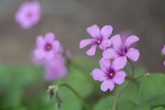_1011195.jpg (plasticskin2001) Tags: flower micronikkor f28s ai 55mm