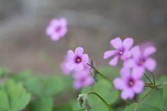 _1011196.jpg (plasticskin2001) Tags: flower micronikkor f28s ai 55mm