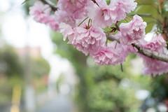 _1011201.jpg (plasticskin2001) Tags: flower sakura micronikkor f28s ai 55mm
