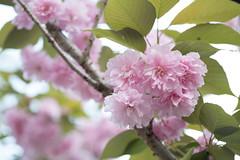 _1011204.jpg (plasticskin2001) Tags: flower sakura micronikkor f28s ai 55mm