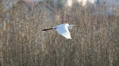 Grande aigrette (Babaw23) Tags: bird ardeaalba grandeaigrette bourges aigrette é22 oiseau