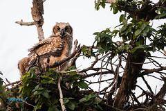 untitled-53251.jpg (dialaspc) Tags: owlraptorbirdft desoto
