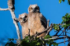 untitled-53826.jpg (dialaspc) Tags: owlraptorbirdft desoto