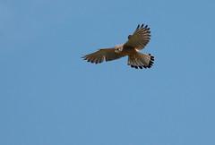 Kestrel (Chris.Small) Tags: bird rspb nature wildlife teesside cleveland marske redcar kestrel birdofprey raptor