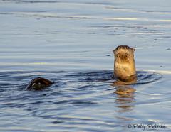 river otter (Pattys-photos) Tags: river otter idaho pattypickett4748gmailcom pattypickett