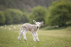Happy Easter (from the smiling lamb!) (Emma Varley) Tags: lamb sheep farm smiling spring easter cute sweet funny field