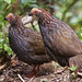 Buffy-crowned Wood-Partridge, Dendrortyx leucophrys Ascanio_Best Costa Rica_2 199A0872