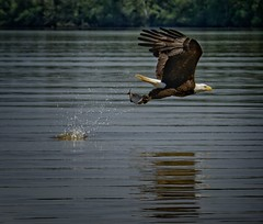 Grabbing Dinner (Kelly_MR) Tags: talons wings janesriver rva eaglefishing eagleinflight baldeagle eagles