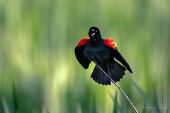 Blackbird's Spring (Sharon's Nature) Tags: spring bird redwingedblackbird