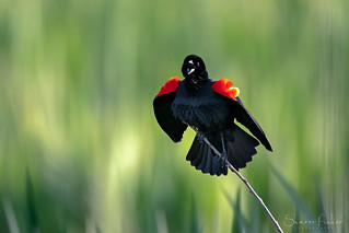 Blackbirds Spring