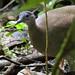 Great Tinamou, Tinamus major Ascanio_Best Costa Rica 199A9821